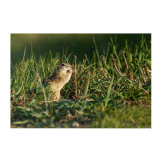 Thirteen-lined Ground Squirrel Eating Acrylic Wall Art