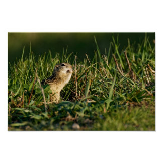 Thirteen-lined Ground Squirrel Eating Poster
