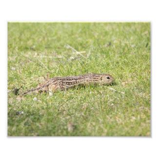 Thirteen Lined Ground Squirrel Photo Print