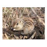 Thirteen Lined Ground squirrel Post Card