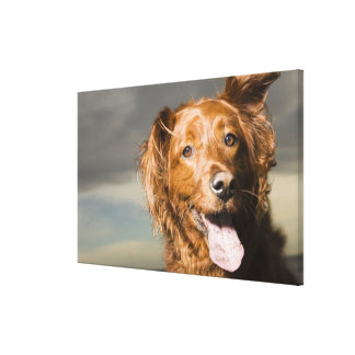 This dog is part golden retriever. canvas print