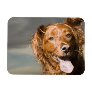 This dog is part golden retriever. magnet