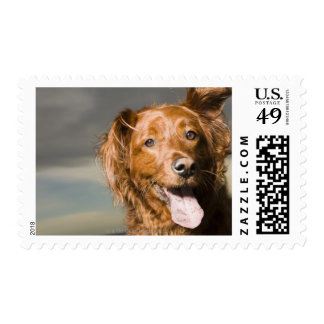 This dog is part golden retriever. postage stamp