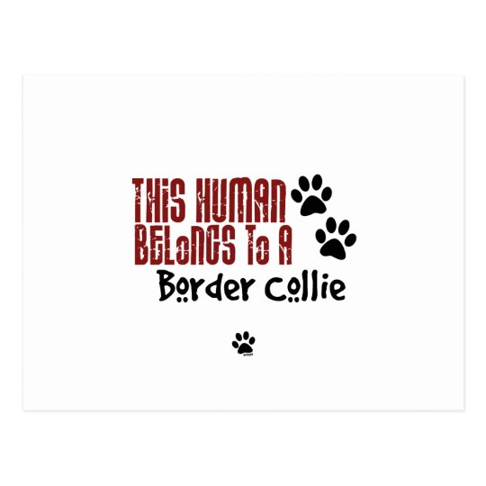 This Human Belongs to a Border Collie Postcard