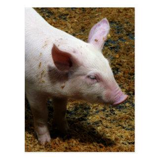 This Little Piggy - Baby Piglet Photo Postcard