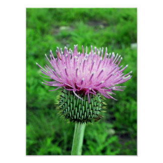 Thistle Poster