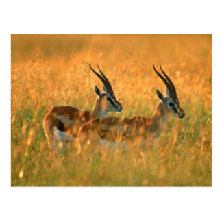 Thomson's Gazelle (Gazella Thomsonii) At Dawn Postcard