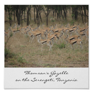 Thomson's Gazelle on the Serengeti, Ta... Poster