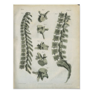 Thoracic and Lumbar Vertebrae Chiropractic Poster