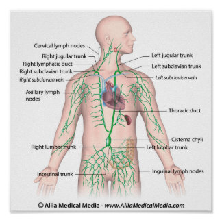 Thoracic lymphatic drainage labeled Poster