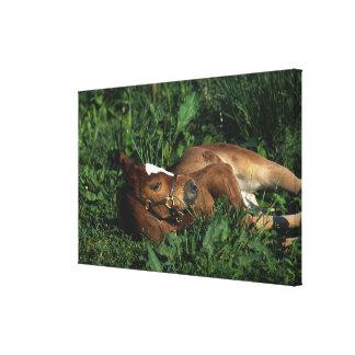 Thoroughbred Foal Lying Down Canvas Print