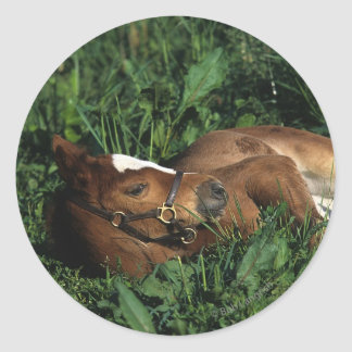 Thoroughbred Foal Lying Down Classic Round Sticker