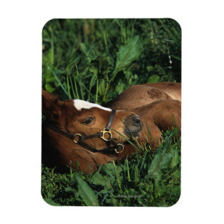 Thoroughbred Foal Lying Down Magnet