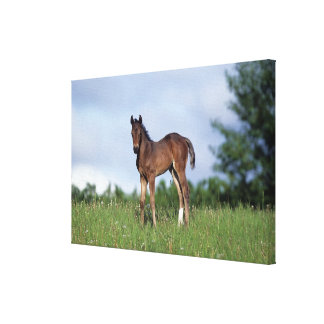 Thoroughbred Foal Standing in the Grass Canvas Print