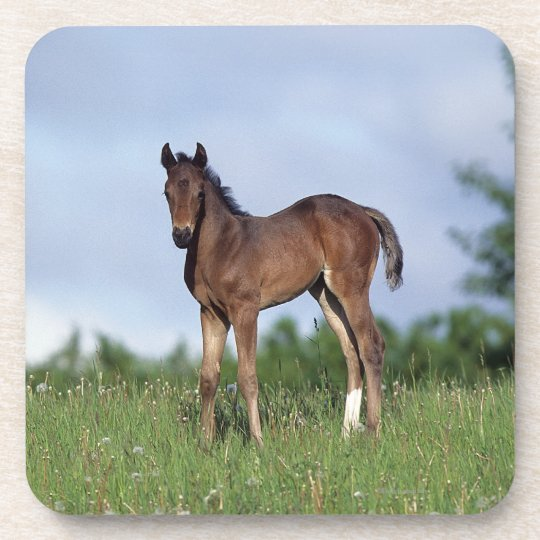 Thoroughbred Foal Standing in the Grass Coaster