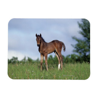 Thoroughbred Foal Standing in the Grass Magnet