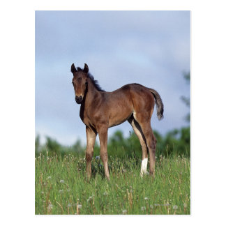 Thoroughbred Foal Standing in the Grass Postcard