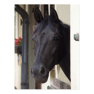 Thoroughbred Friesian Cross Postcard