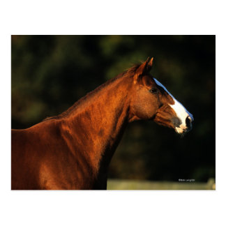 Thoroughbred Horse Headshot Postcard