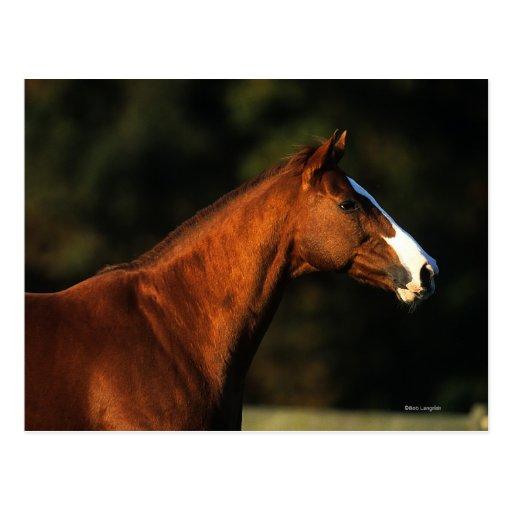 Thoroughbred Horse Headshot Postcard