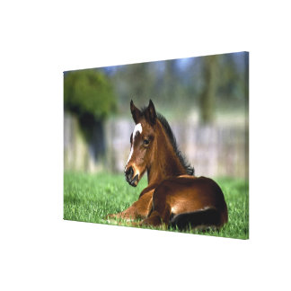 Thoroughbred Horse, Ireland Canvas Print