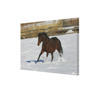 Thoroughbred Horse Running in the Snow Canvas Print