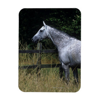 Thoroughbred Horse Standing by Fence Magnet