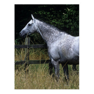 Thoroughbred Horse Standing by Fence Postcard