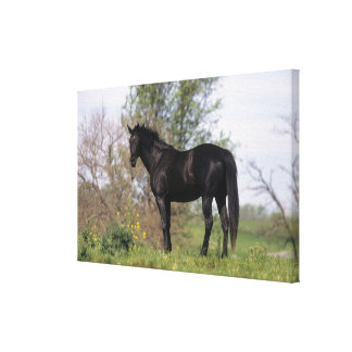Thoroughbred Horse Standing Canvas Print
