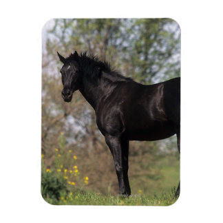 Thoroughbred Horse Standing Magnet
