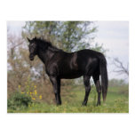 Thoroughbred Horse Standing Postcard
