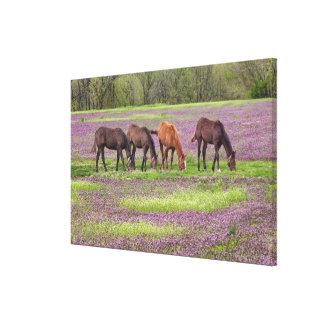 Thoroughbred horses in field of henbit flowers canvas print