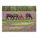Thoroughbred horses in field of henbit flowers post cards