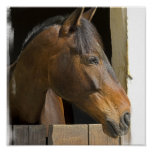 Thoroughbred Horses Poster