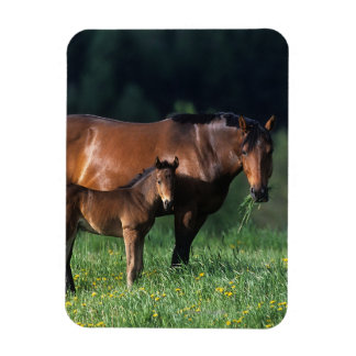 Thoroughbred Mare & Foal 1 Magnet