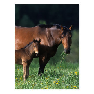 Thoroughbred Mare & Foal 1 Postcard