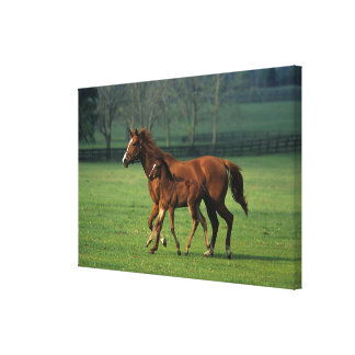 Thoroughbred Mare & Foal 3 Canvas Print