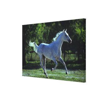 Thoroughbred Stallion Running Canvas Print