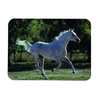 Thoroughbred Stallion Running Magnet