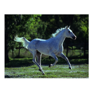 Thoroughbred Stallion Running Postcard