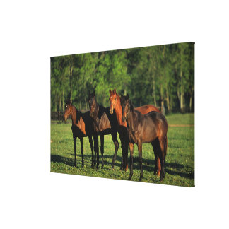 Thoroughbred Yearlings Canvas Print