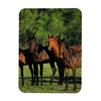 Thoroughbred Yearlings Magnet