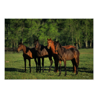 Thoroughbred Yearlings Poster