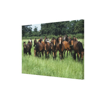 Thoroughbred Youngsters Canvas Print