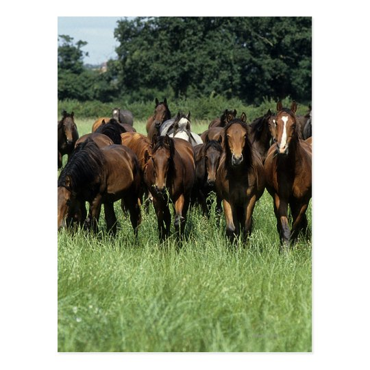 Thoroughbred Youngsters Postcard