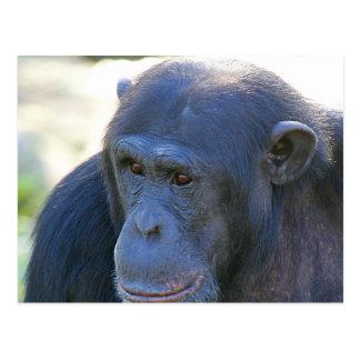 Thoughtful Chimp Postcard