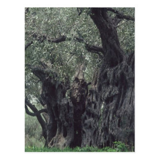 Thousand-year-old postcard olive-tree