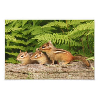 Three Adorable Baby Chipmunks Photo Print