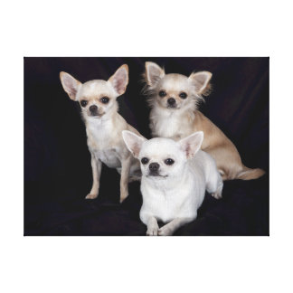 Three Adorable Chihuahuas Wrapped Canvas Print