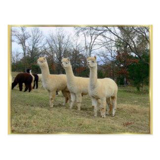 Three Alpaca Girls Postcard
